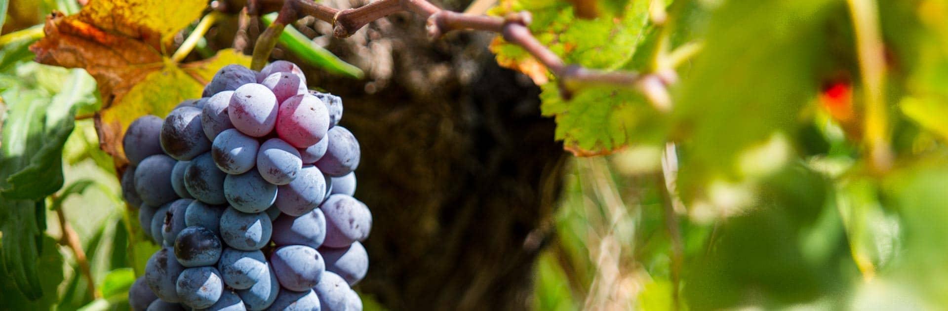 Antica Tindari - L'uva